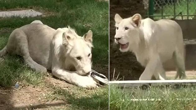 A zoo in Iraq is rearing a white lion cub and officials say they're hoping to welcome another one of the unusual big cats in the coming month. The male cub is hosted at Iraq's Al Zawra Zoo. He's the first lion to have been born in Iraq and his white genetic mutation make him extremely rare. Al Zawra Zoo's animal population was decimated during the 2003 war. Officials say the cub's mother is pregnant again and they are hoping to welcome another white cub. white lions are a rare genetic mutation unique to the Timbavati & Kruger National Park areas of Southern Africa. There are less than 13 white lions left in the wild & upto 300 in captivity.