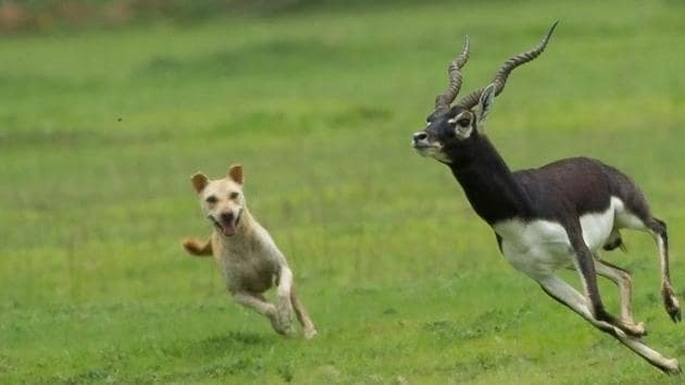 A free-ranging dog chases a blackbuck at the Vetnai sanctuary in Odisha. A growing population of stray dogs across rural India means packs often wander into protected areas, threatening the animals there.(Pitam Chattopadhyay)