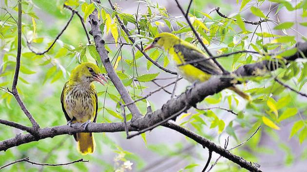 The Indian golden oriole spotted in Basai wetlands, near Gurgaon.(Shellender Singh Rao)
