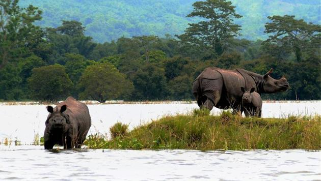 Rhinos with a calf at a highland during flood at Kaziranga National Park in Bagori range of Nagaon district.(PTI Photo)