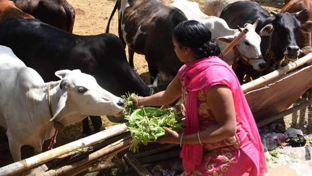 Intramuscular injections of oxytocin are given to cows every day to make them release milk at a go at a time convenient to the dairy farmer.(HT PHOTO)