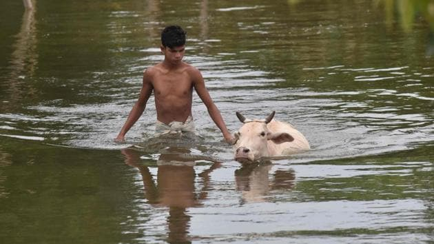 A villager walks cattle through floodwater at Buraburi village in Morigaon district in the northeastern state of Assam.(AFP Photo)