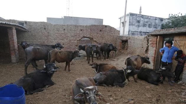 Buffaloes in Malihabad, on the outskirts of Lucknow on March 30.(AP File Photo)