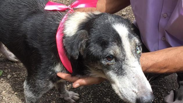 Around 250 dogs got the band tied around their necks in Mulund.(HT)