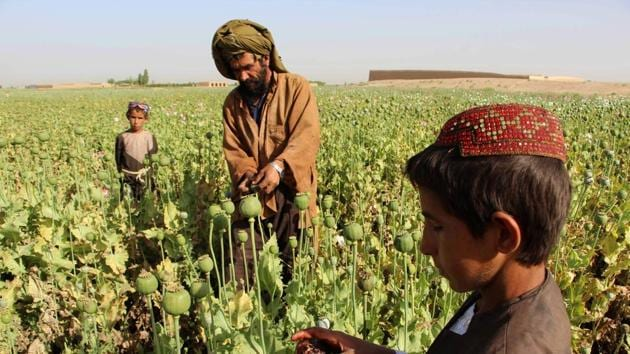(FILES) This file photo taken on April 11, 2017 shows Afghan farmers harvesting opium sap from a poppy field in the Gereshk district of Helmand. The Taliban -- which banned poppy cultivation when it ruled Afghanistan -- now appears to wield significant control over the war-torn country's heroin production line.(AFP)