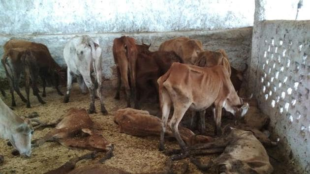 Villagers claimed more than 200 cows died in last few days because of lack of fodder and medicines in Raipur village of Chhattisgarh..(Ritesh Mishra/HT photo)
