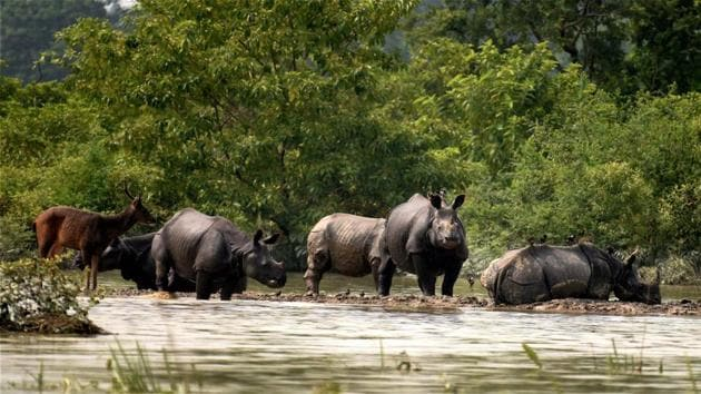 Rhinos and a deer at the flooded Kaziranga National Park in Nagaon district of Assam on August 15.(PTI Photo)