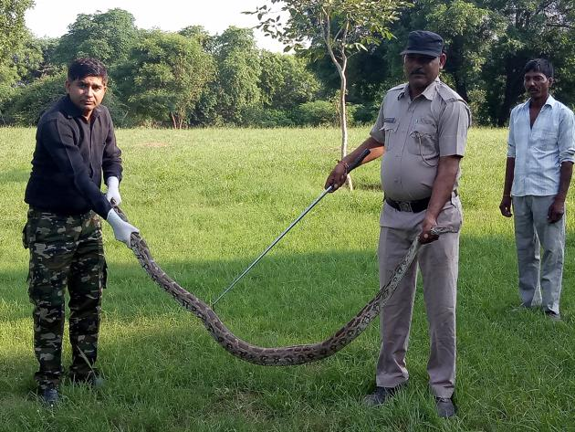 The python tried to slip away before the rescue team arrived, but the villagers kept watch.(Leena Dhankhar/HT)