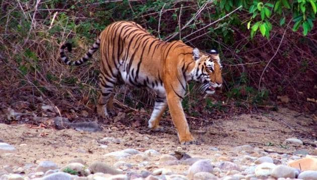 Palamau is only one in a long list of tiger habitats across India where development projects have got the governments' nod.(HT File Photo)