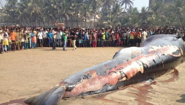 A 35-foot-long dead whale washed ashore at Mumbai's Juhu beach in January 2016.(HT File)
