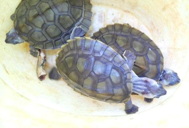 Three rare turtles recovered from a poacher's possession by STF of forest department in Morena(HT Photo)