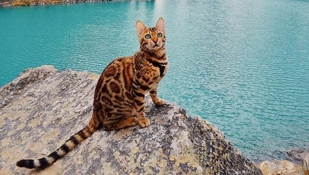 Suki the Bengal cat is winning hearts the world over, one Instagram post at a time.(sukiicat Instagram)