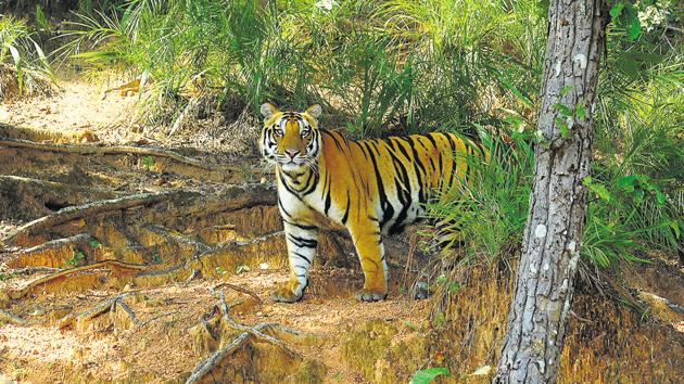 A tiger in Kanha National Park in Madhya Pradesh. Wildlife activists feel a likely government approval for mining projects in the Pench Satpuda tiger corridor will harm tiger protection efforts in central India.(HT PHOTO)