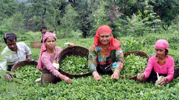 Owners of tea gardens blame the high cost of land in the state, especially around the tea gardens, for the fall in plantation.(Sham Sharma/HT)