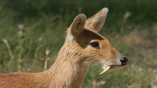 Three musk deer died in the farm last month bringing down their number from 20 to 17.(HT Photo)