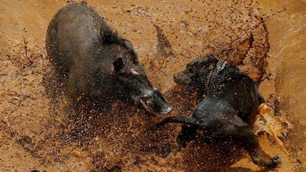 <p>A wild boar is pitted against a dog during a contest, known locally as &lsquo;adu bagong&rsquo; (boar fighting), in Cikawao village of Majalaya, West Java...