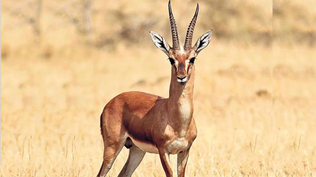The chinkara continues to face threats by poachers in western Rajasthan.(HT Photo)
