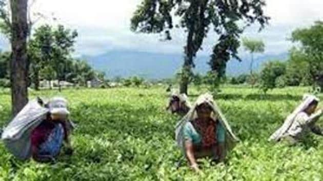 File picture of north Bengal tea gardens. The tea industry is a labour intensive one and absence of workers can cripple plantations.(HT Photo)