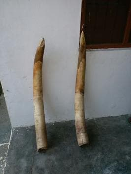 The two elephant tusks seized from a forest dweller from the Terai west forest division.(HT Photo.)