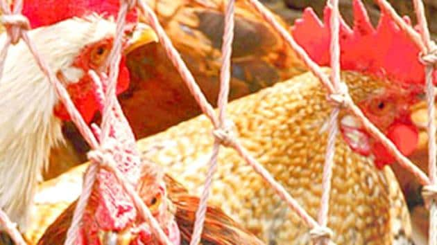 The reports of swabs collected from the hen were still awaited.((Representative photo))