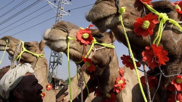 A Pakistani vendor looks to his decorated camels while he waits for customers at a livestock market set up for the Eid al Adha festival in Lahore.(File Photo)