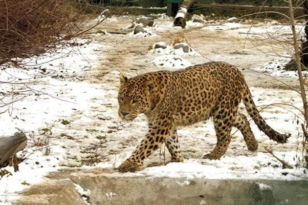 A leopard was shot dead in Uttarakhand's Pithoragarh district after it killed two people.(Representative photo)