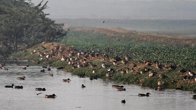 The Basai wetland qualifies to be declared as a 'Ramsar' site, which implies that it has international importance, reads a remark in the 2004 survey by the Salim Ali Centre for Ornithology and Natural History.(HT File)