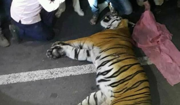 Forest officials from Bor conducted a post-mortem of the tiger on Saturday and burnt the body as per NTCA guidelines.(HT photo)