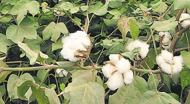 Aurangabad has been the worst-hit, with farmers losing cotton crop planted on 4.81 lakh hectares.(Representational photo)
