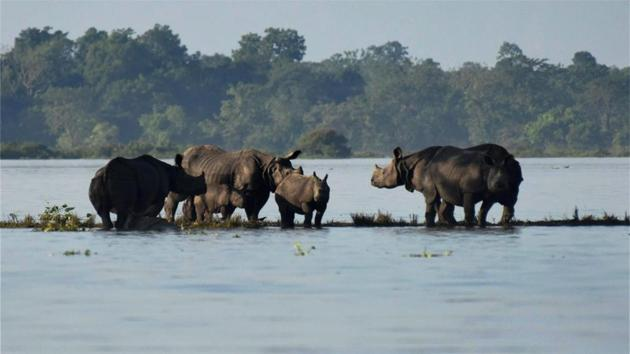 Rhinos with their calves standing on an elevated land in the flooded Kaziranga National Park in Assam.(PTI File Photo)