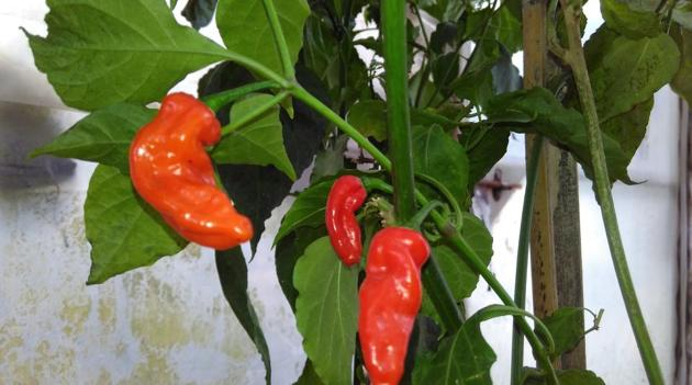 """Christened as """"Kishore's fire ball"""", the new chilli looks slightly curled and smaller than India's hottest chilli whose plant grows to 5 feet long and can produce up to 50-60 fruits in a season(HT Photo)"""