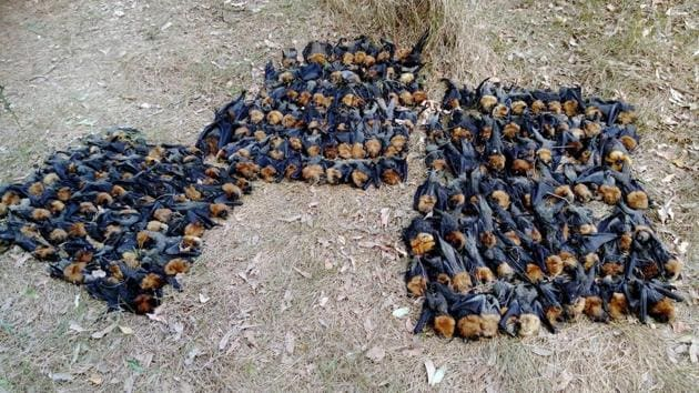 This handout picture taken on January 8, 2018 and released by Help Save the Wildlife and Bushlands in Campbelltown shows dead bats on the ground in Sydney.(AFP Photo)