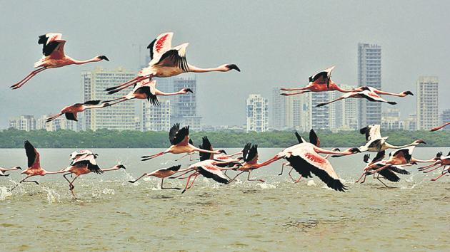 Flamingoes at Thane creek.(Praful Gangurde/HT)