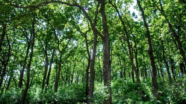 The latest report of 2017 has shown a meagre increase of 165 sq km in very dense forest and 636 sq km in other forest categories, while the moderate dense forest diminished with a difference of 778 sq km, leaving the total cover in state to 24,295 sq km.(HT PHOTO)