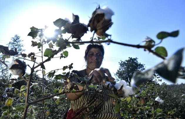 Usha Pandey, 39, a farmer from Amravati district of Vidarbha, has been left with just one-third of her average cotton yield from her two-acre field, which was attacked by pink bollworm. She has suffered a loss of ₹25,000.(Anshuman Poyrekar/HT Photo)