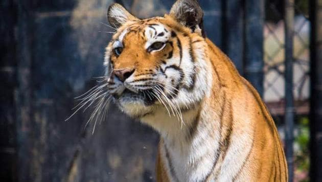 10-year-old Rani, the female tiger.(HT PHOTO)