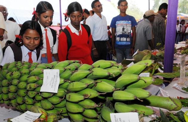In Bihar, banana is grown in around 2,000 hectares in districts like Vaishali, Katihar, Kishanganj, Bhagalpur (Naugachia) and Purnia.(HT File Photo/For representation only)