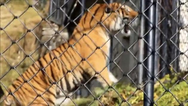 The 58-second video shows the big cat initially avoiding the tourists.(Video Grab/ HT Photo)
