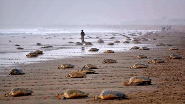 Olive Ridley turtles return to the sea after laying their eggs in the sand at Rushikulya Beach, some 140 kilometres (88 miles) south-west of Bhubaneswar.(AFP file photo)