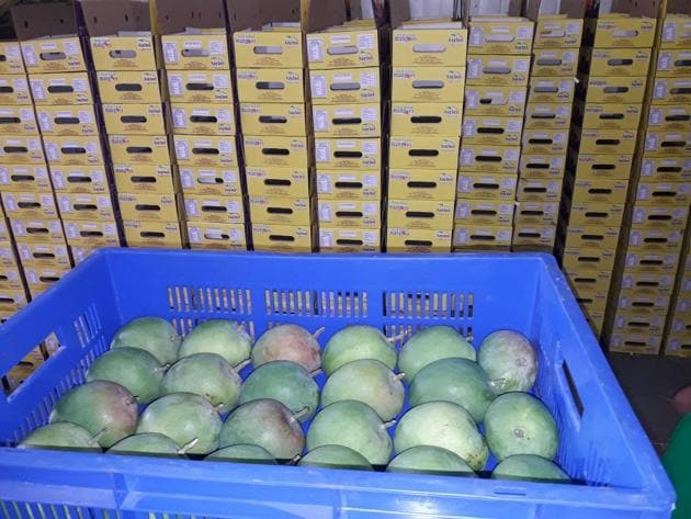 All mangoes exported to the US are irradiated at Barc (Bhabha atomic research centre) in Mumbai which has a capacity to handle one tonne per hour.(HT PHOTO)