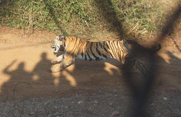 The Sariska Tiger Reserve in Rajasthan has now 14 big cats – nine female and five male.(HT File Photo)