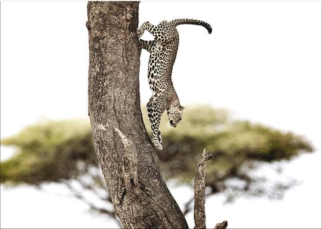 Chasing wild cats in Tanzania