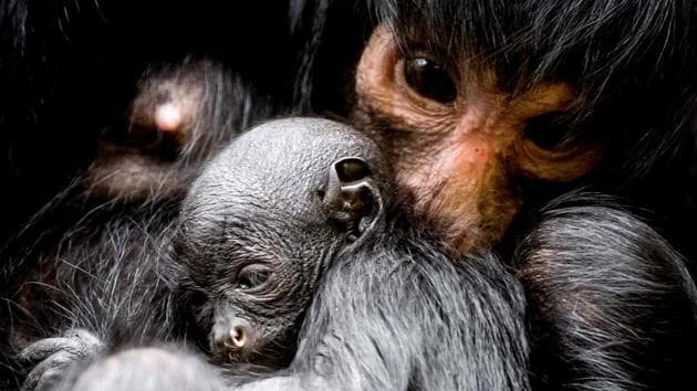 <p>A three-day old black spider monkey, its gender still unknown, nestles with its mother at the Artis Zoo in Amsterdam on March 16, 2018.</p> (Koen van Weel /...