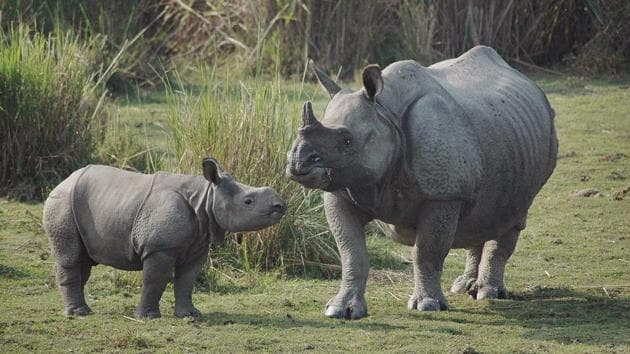 A new born one horned Rhino baby stands with her mother inside the Kaziranga National Park.(AP File Photo)