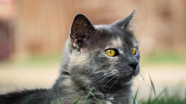 Cats can hear high pitched sounds which can go upto 64 kHz, 1.6 octaves above the human range.(Shutterstock)