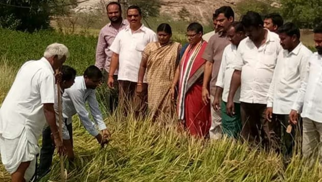 Farmers survey damaged paddy crop in Suryapet district of Telangana.(HT PHOTO)