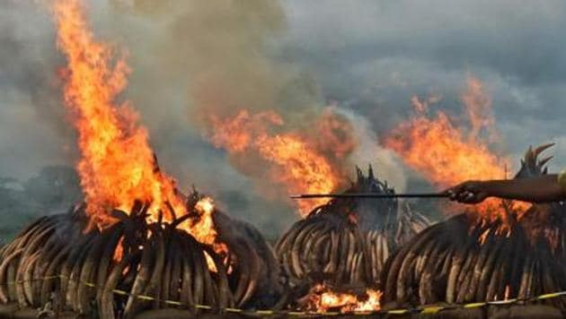 Kenya Wildlife Services burns illegal stockpiles of burning elephant tusks and ivory figurines at the Nairobi National Park in 2016. Members of Britain's royal family including Prince Charles and Prince William have campaigned against slaughter of elephants for ivory.(AFP File)