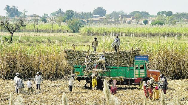 Good rainfall in September and October, and increased area under cultivation led to a bumper sugarcane harvest in the state.(HT PHOTO)