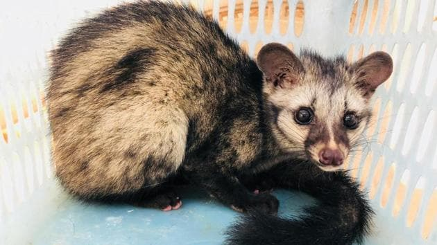 The Gurgaon wildlife department team rescued a two-year-old Asian civet cat from Gadoli village on Sunday.