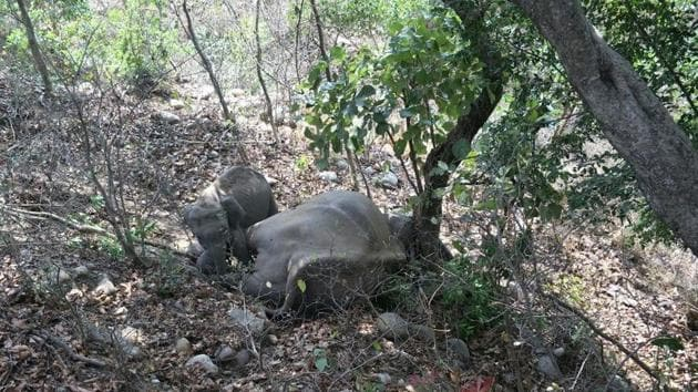 The calf had refused to move from the side of the dead elephant.(HT Photo)